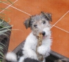 macho fox terrier